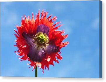 A Colorful Flower With Red And Purple Canvas Print by John Short