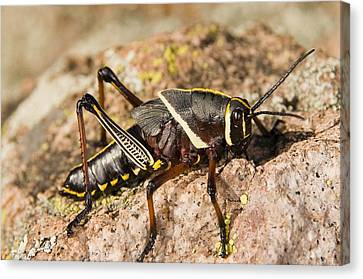A Colorful Lubber Grasshopper Canvas Print by Jack Goldfarb