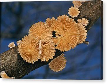 A Common Split Gill Mushrooms Sit Canvas Print by Darlyne A. Murawski