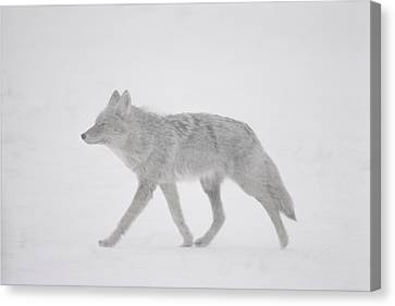 A Coyote Canis Latrans Moves Canvas Print by Annie Griffiths