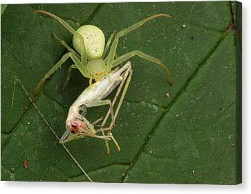 A Crab Spider, Thomisus Canvas Print by George Grall