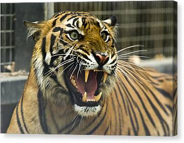A Critically Endangered Sumatran Tiger Canvas Print by Jason Edwards