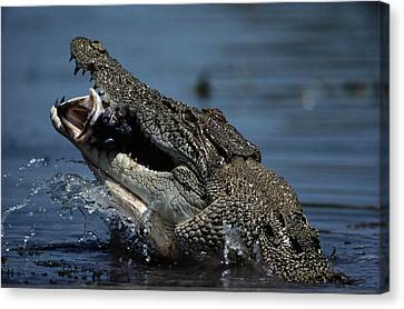 A Crocodile Eats A Giant Perch Fish Canvas Print by Belinda Wright