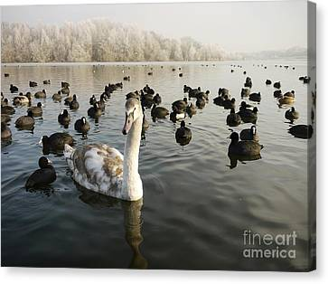 A Cygnets First Winter Canvas Print by John Chatterley