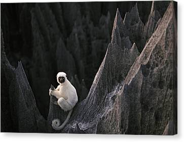 A Deckens Sifaka Lemur In The Grand Canvas Print by Stephen Alvarez
