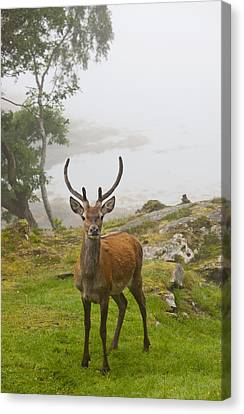 A Deer Stands In A Foggy Meadow By The Canvas Print by John Short