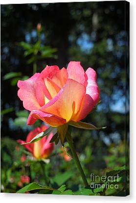 A Delicate Rose Canvas Print by Chad and Stacey Hall