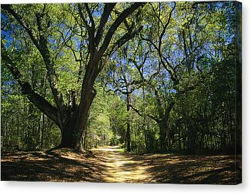 Bromeliad Canvas Print - A Dirt Road Through A Forest Passes by Raymond Gehman