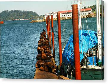 A Dock Of Sea Lions Canvas Print by Jeff Swan