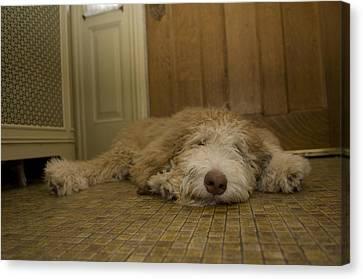 A Dog Lies On A Linoleum Floor Canvas Print by Joel Sartore