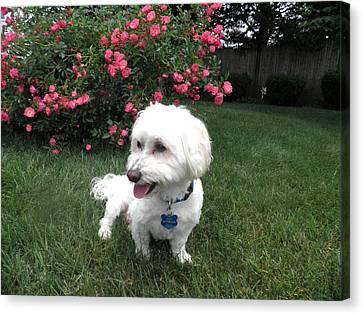 White Maltese Canvas Print - A Dogs Life by Kate Gallagher