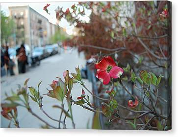 A Dogwood Grows In Brooklyn Canvas Print by Julie VanDore