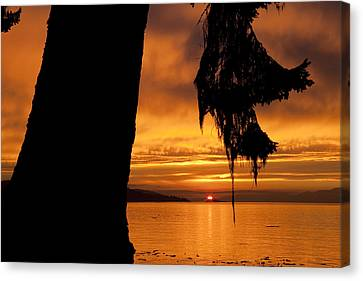 A Douglas Fir Stands Silhouetted Canvas Print by Taylor S. Kennedy
