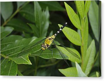 A Dragonfly Resting On A Leaf Canvas Print by George Grall