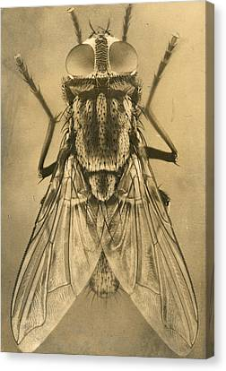 A Female House Fly Resting On Glass Canvas Print by N.A. Cobb