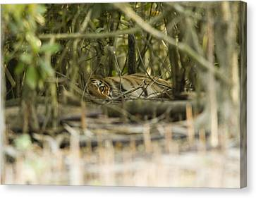 A Female Tiger Rests In The Undergrowth Canvas Print by Tim Laman