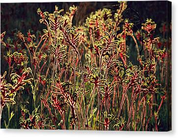 A Field Of Red And Green Kangaroo Paws Canvas Print by Jonathan Blair