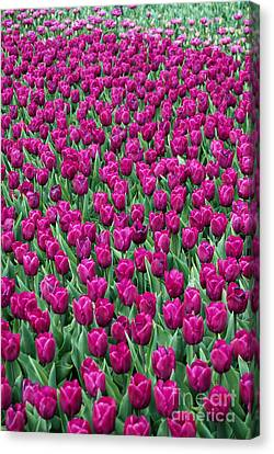 Canvas Print featuring the photograph A Field Of Tulips by Eva Kaufman