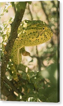 A Flap-necked Chameleon Well Canvas Print
