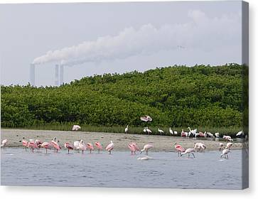 A Flock Of Juvenile And Adult Roseate Canvas Print by Tim Laman