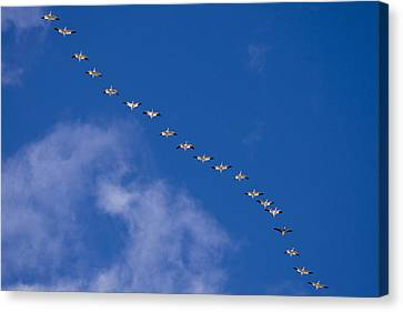 A Flock Of Snow Geese Chen Canvas Print by Ralph Lee Hopkins