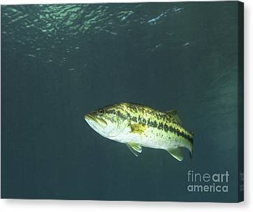 Dunnellon Canvas Print - A Florida Largemouth Bass In The Clear by Terry Moore