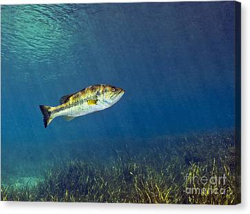 Dunnellon Canvas Print - A Florida Largemouth Bass Swims by Terry Moore