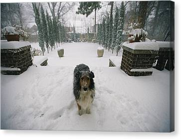 A Forlorn And Snow-dusted Sheltie Canvas Print by Joel Sartore