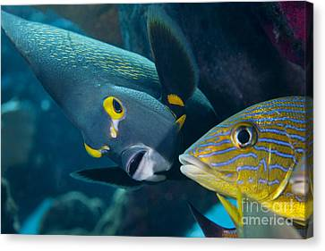 A French Angelfish Swims Up Close Canvas Print by Terry Moore