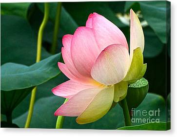 A Gentle Unravelling Canvas Print