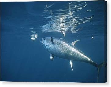 A Giant Bluefin Tuna Feeds Canvas Print by Brian J. Skerry