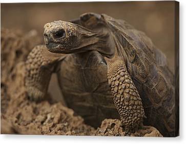 A Giant Galapagos Tortoise Crawling Canvas Print by Ralph Lee Hopkins