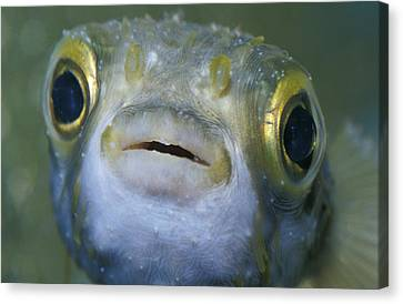 A Globe Fish Also Known As A Puffer Canvas Print by Jason Edwards