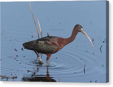 A Glossy Ibis Wades For Food In A Salt Canvas Print by George Grall