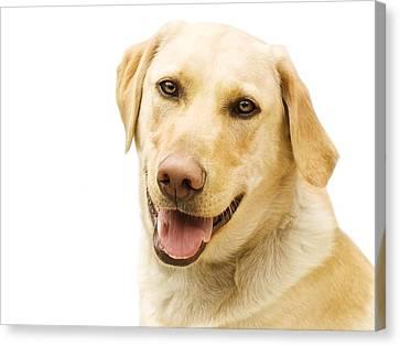 A Golden Labrador Canvas Print by Chris Knorr