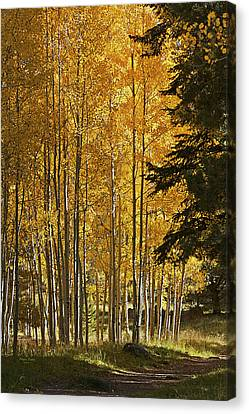 A Golden Trail Canvas Print by Phyllis Denton