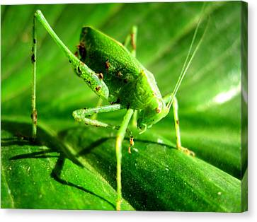 A Grasshopper Cleans Itself Canvas Print by Catherine Natalia  Roche