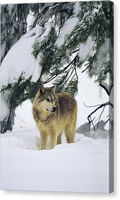 A Gray Wolf Stands Under Canvas Print by Norbert Rosing