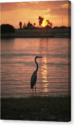 Solar Phenomena Canvas Print - A Great Blue Heron In Silhouette by Bill Curtsinger