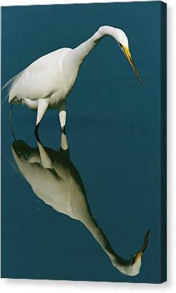 A Great Egret Hunting In Calm Water Canvas Print by Tim Laman