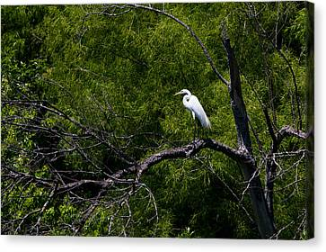 A Great Egret In A Green Forest Canvas Print