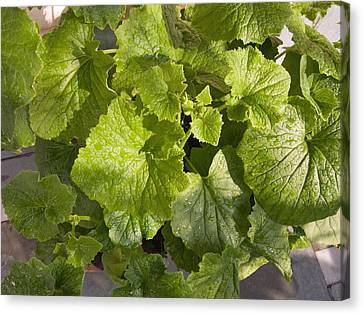 A Green Leafy Vegetable Plant After Watering In Bright Sunrise Canvas Print by Ashish Agarwal