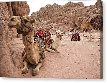 A Group Of Camels Sit Patiently Canvas Print by Taylor S. Kennedy