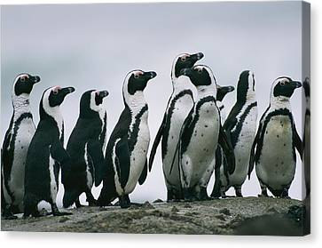 A Group Of Jackass Penguins Spheniscus Canvas Print