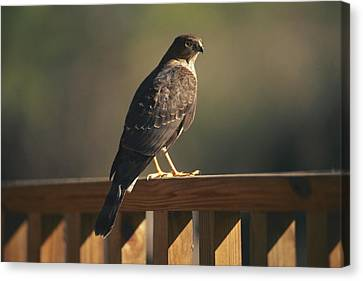 A Hawk Takes A Rest On A Porch Rail Canvas Print by George F. Mobley