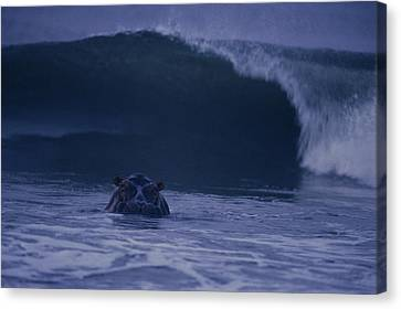 A Hippopotamus Surfs The Waves Canvas Print by Michael Nichols