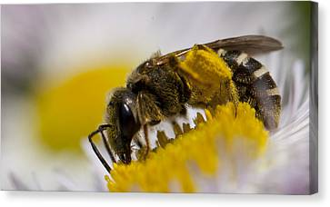 A Honey Bee Canvas Print