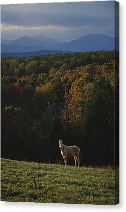 A Horse Stands On A Hill Overlooking Canvas Print by Sam Kittner