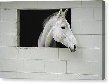 A Horse Sticks His Head Out Of A Window Canvas Print