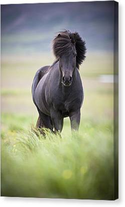 A Horse With Its Mane Blowing In The Canvas Print by David DuChemin